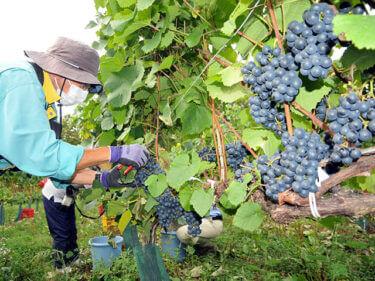 鶴沼ワイナリーでブドウの収穫始まる